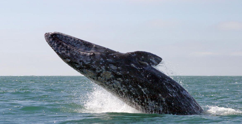 Спасибо серым китам